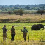 Guests at Ruckomechi camp on walking safari with guide and elephant