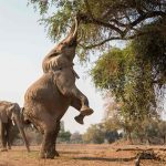 Elephant on its hind legs reaching for tree leaves