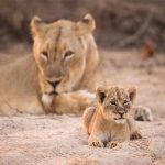 A lion cub lying on sand with lioness in the background