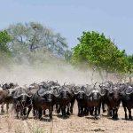 Buffalo herd close to Ruckomechi camp in Mana Pools