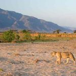 Lioness at Ruckomechi camp with mountains in the distance
