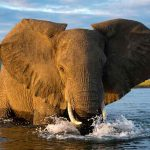 Mana Pools elephant in water very close