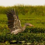 Shoebill taking off