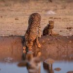 a cheetah and her cub drinking at a waterhole