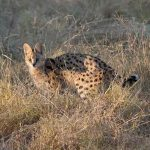 a serval cat standing in long grass
