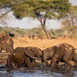 two baby elephants tustle in a waterhole