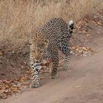 a leopard walking on a sandy path