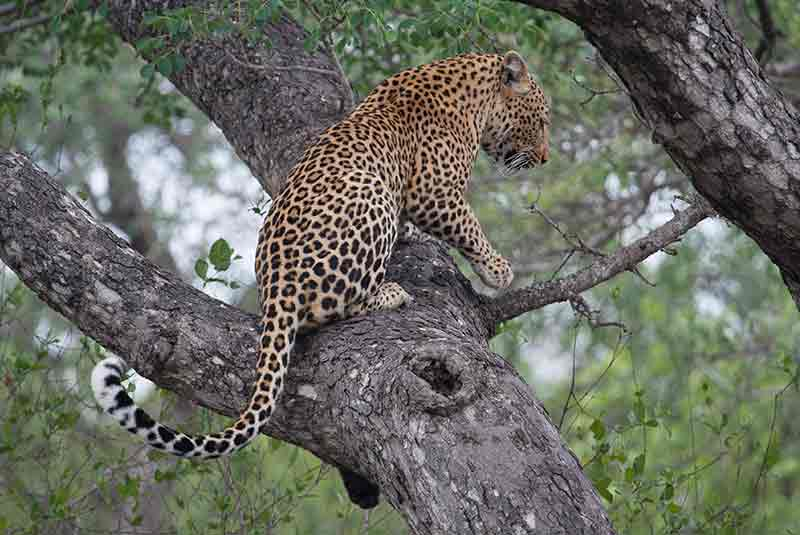 Leopard perched in a tree