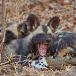 a wild dog lying on the ground yawning
