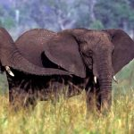 two elephants with trunks extended in greeting