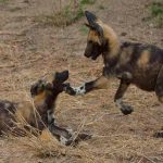 two wild dog pups play fighting