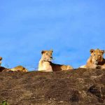 Lion pride resting on a rock
