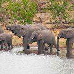 a herd of elephants drinking at a waterhole