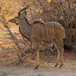 a kudu standing in bush