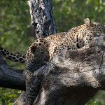 a leopard and her cub resting on a dead tree trunk