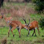Two Kobi antelope in mock battle with females watching
