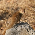 A small Slender Mongoose standing on a termite mound