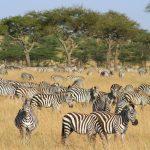 Zebra herd at Naboisho