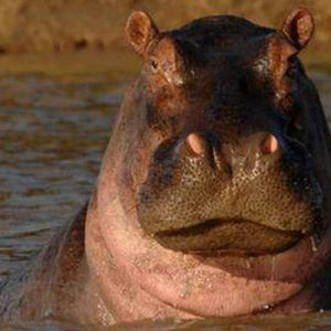 Kafue hippo