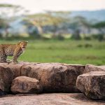 Leopard on a rock looking at the camera