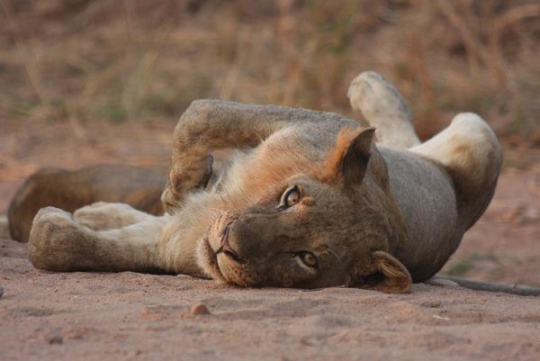 A lioness lying on her back in a sandy river bed
