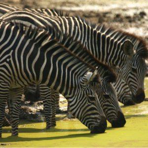 luangwa-zebra
